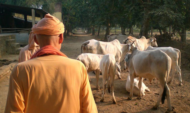 Cow prayer